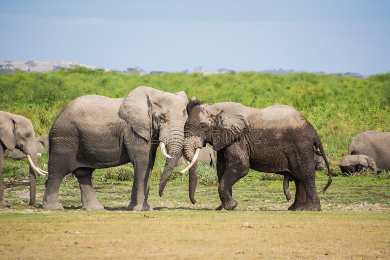 Elefant im Nationalpark Kenia lizenzfreie stockfotografie