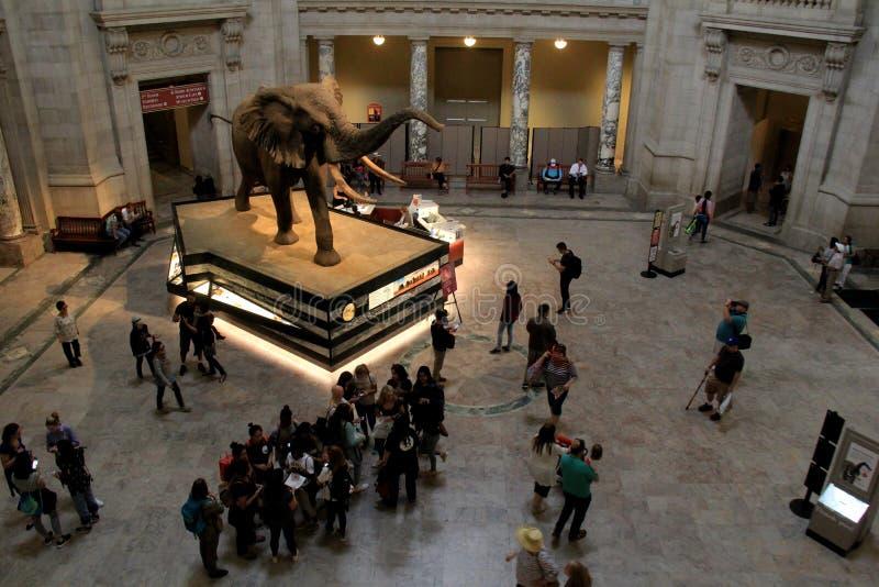 Elefant im Rundbauabgehobenen betrag viel Aufmerksamkeit, Smithsonian-Nationalmuseum der Naturgeschichte, DC, 2017 stockfoto