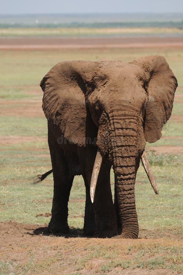 Elefant im Schmutz stockbilder