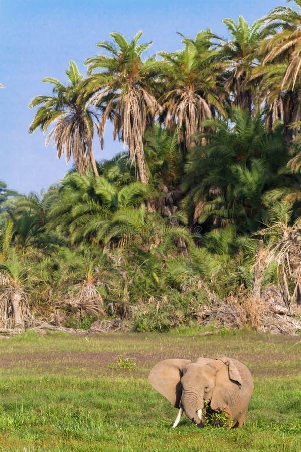 Elefant im Sumpf Amboseli stockbilder