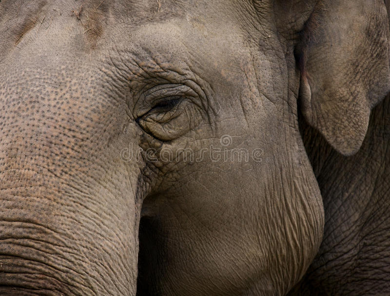 Elefant indien photographie stock