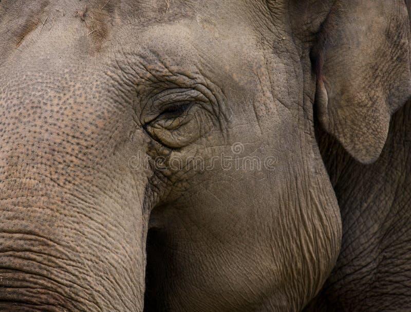 elefant indier arkivbild