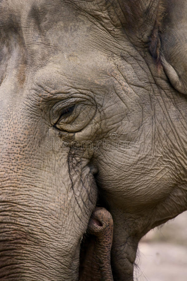 elefant indier royaltyfri fotografi