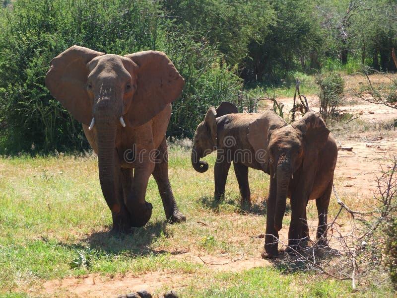 Elefant med två tonåringar royaltyfria foton