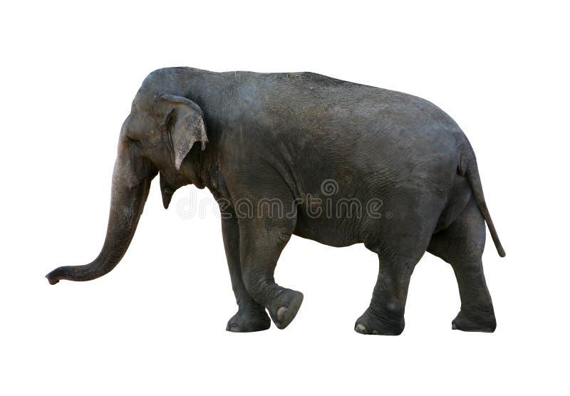 Elefant mit Ausschnittspfad lizenzfreies stockbild