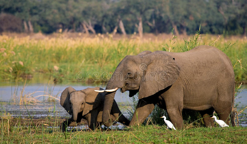 Elefant mit Baby nahe dem Sambesi sambia Senken Sie Nationalpark Sambesis Der Sambesi lizenzfreies stockbild