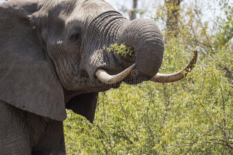 Elefant mit den Elfenbeinstoßzähnen im Reißnagel, lizenzfreies stockfoto