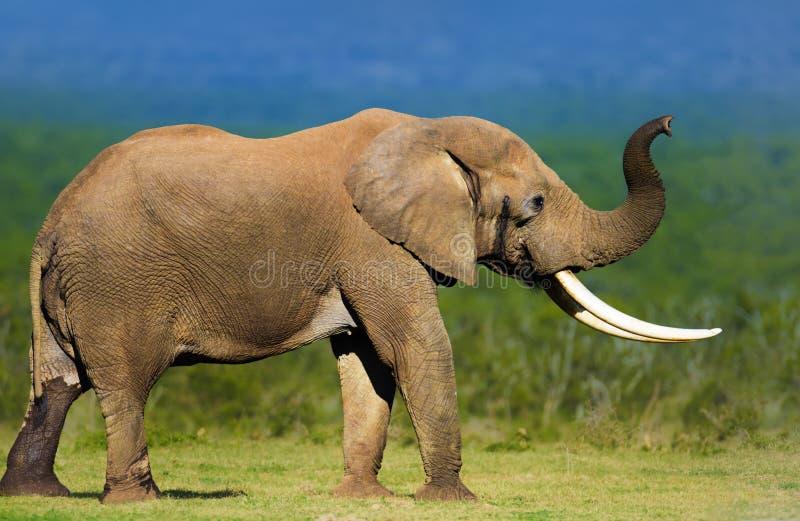 Elefant mit den großen Stoßzähnen lizenzfreie stockfotos