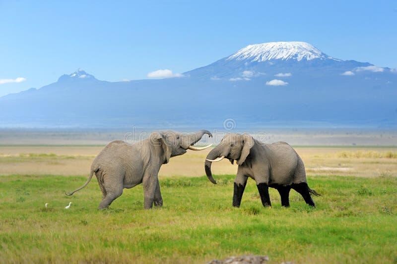 Elefant mit Mount Kilimanjaro lizenzfreie stockbilder