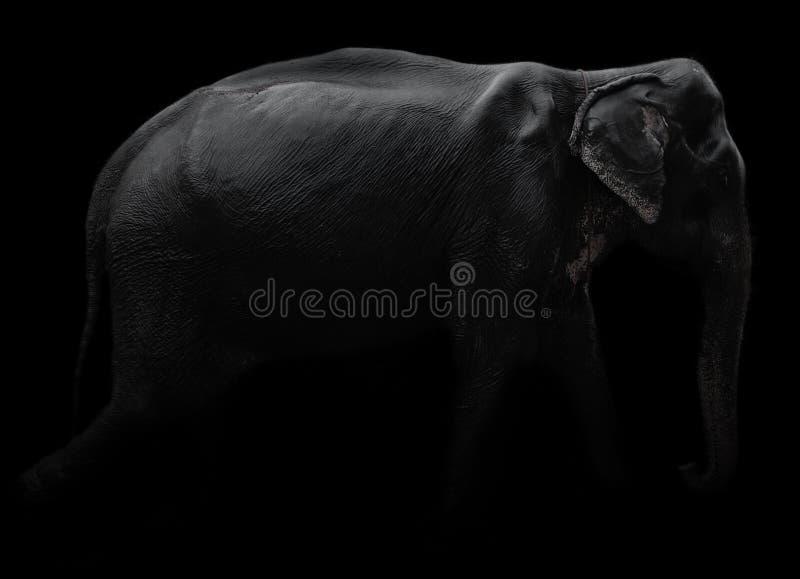 Elefant mit schwarzem Hintergrund lizenzfreie stockfotos