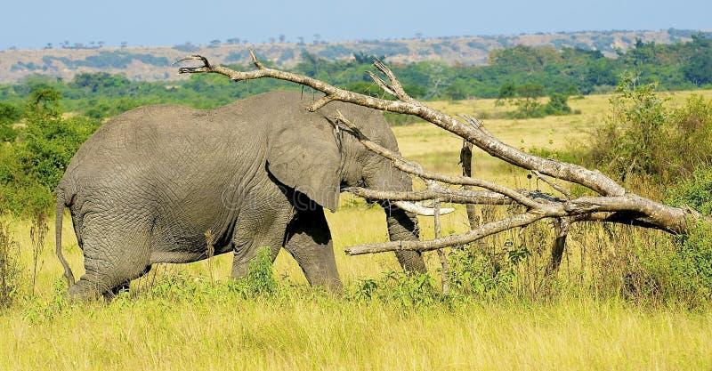 Download Elefant mot trädet arkivfoto. Bild av endangered, framsida - 27282620