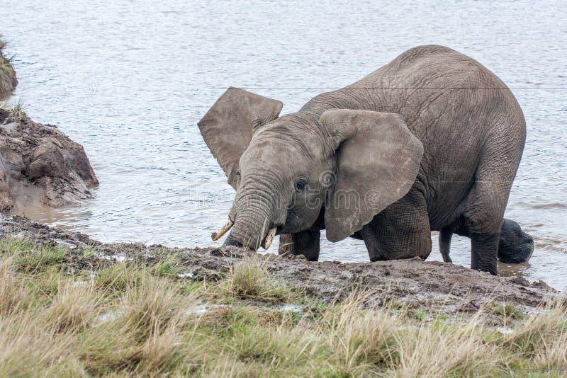 Elefant nach Duschbehandlung lizenzfreies stockfoto