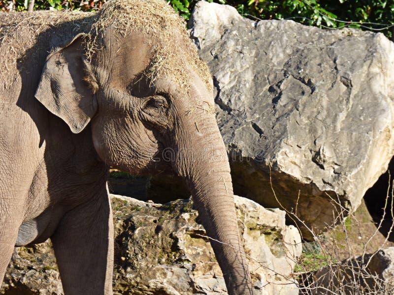 Elefant nah oben vom Kopf und vom Stamm lizenzfreie stockbilder