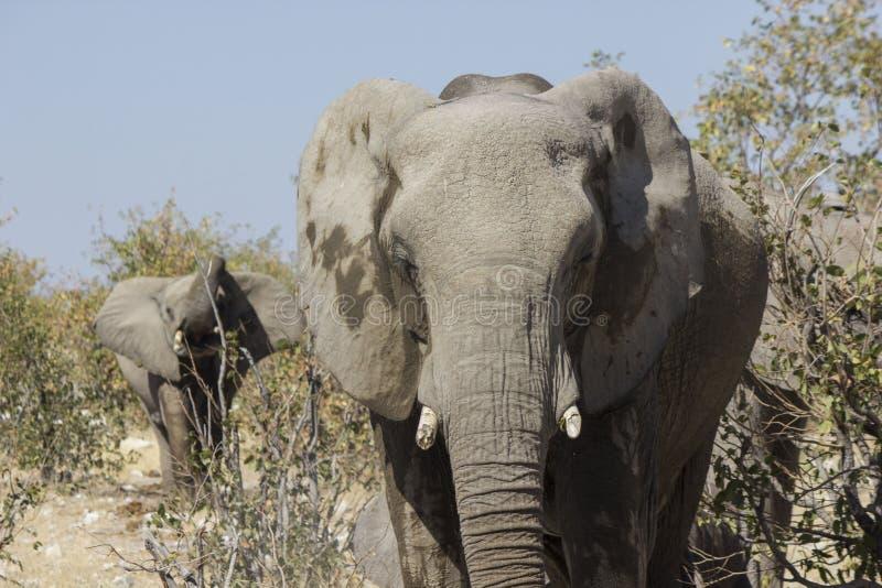 elefant namibia royaltyfria foton