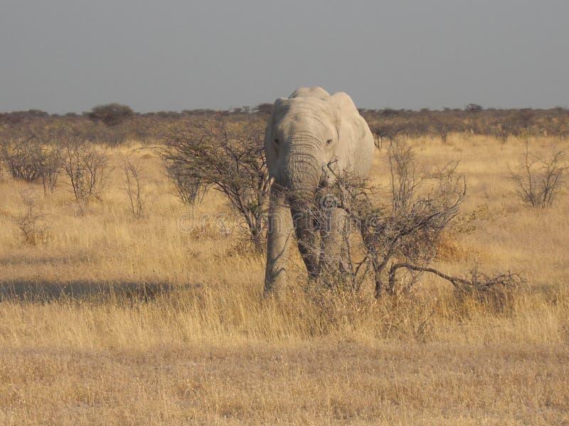 Elefant in Nationalpark Etosha stockfotos