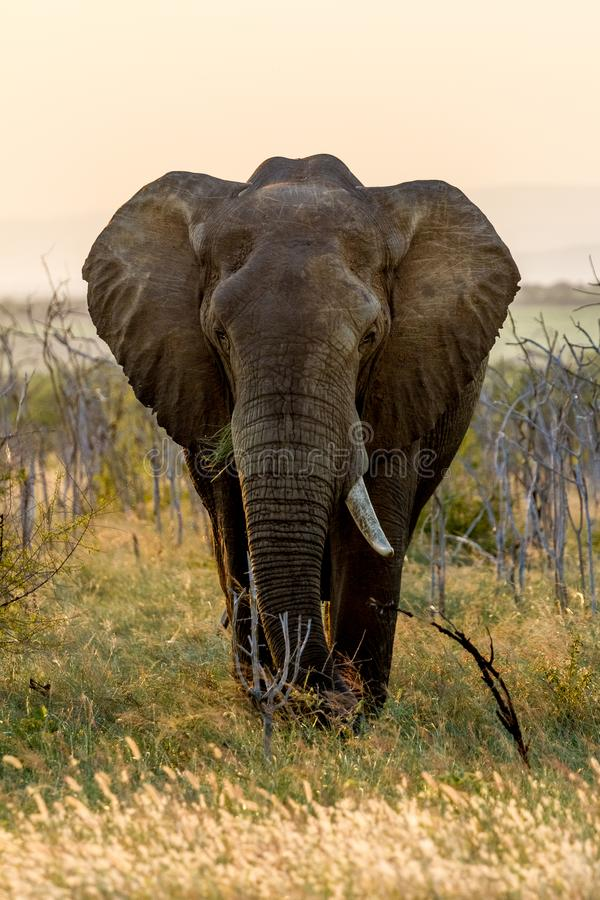Elefant in Nationalpark Hlane, Swasiland stockfotos