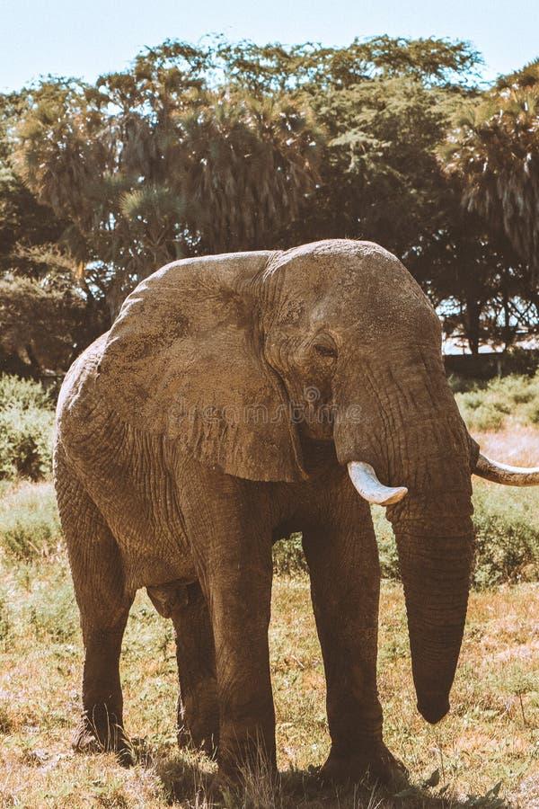 Elefant an Nationalpark Kenia Samburu w?hrend der Safari stockfotografie