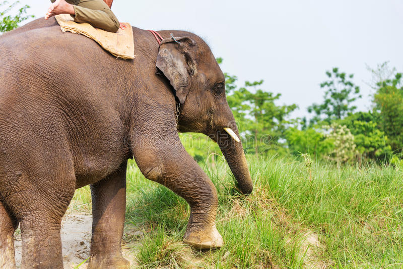 elefant nepal arkivfoto