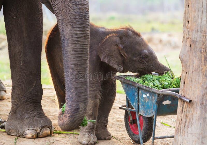 elefant nepal arkivbild