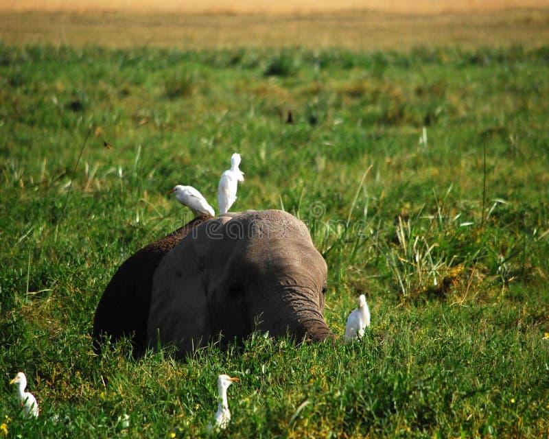 Elefant och fåglar arkivfoto
