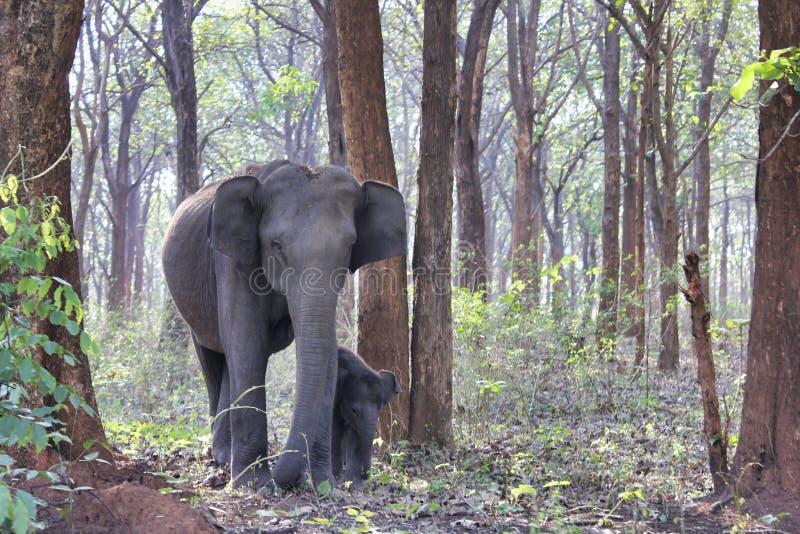 Elefant och kalv i skog arkivfoton