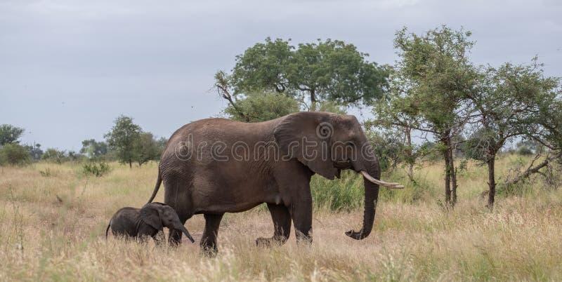Elefant och nyligen född kalv som går i busken i den Kruger nationalparken, Sydafrika arkivbilder