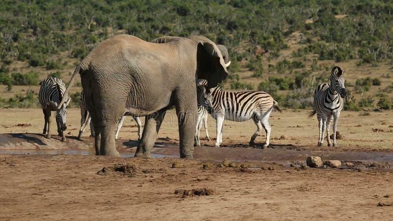 Elefant och sebror på waterhole arkivfilmer