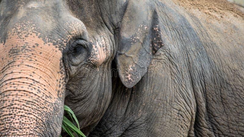 Elefant ohne Stoßzahn isst Gras Schließen Sie oben vom asiatischen Elefanten essen stockfotos