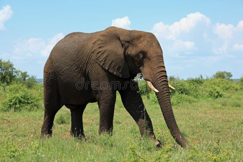 Elefant på den Kruger nationalparken Sydafrika arkivbilder