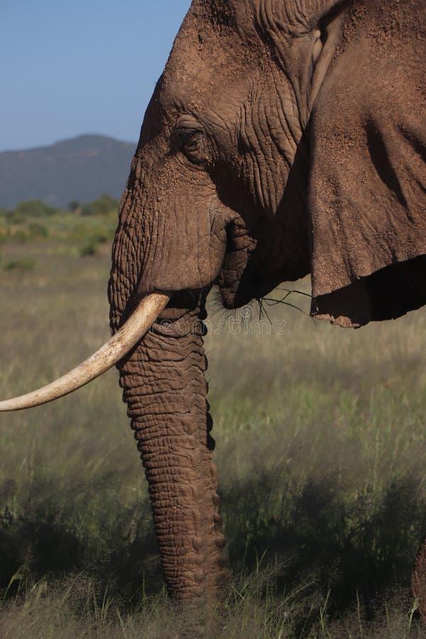 Elefant på den Samburu nationalparken Kenya under safari royaltyfri fotografi