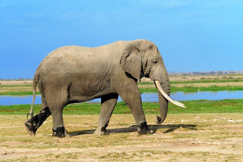 Elefant på savannah i Afrika arkivfoton