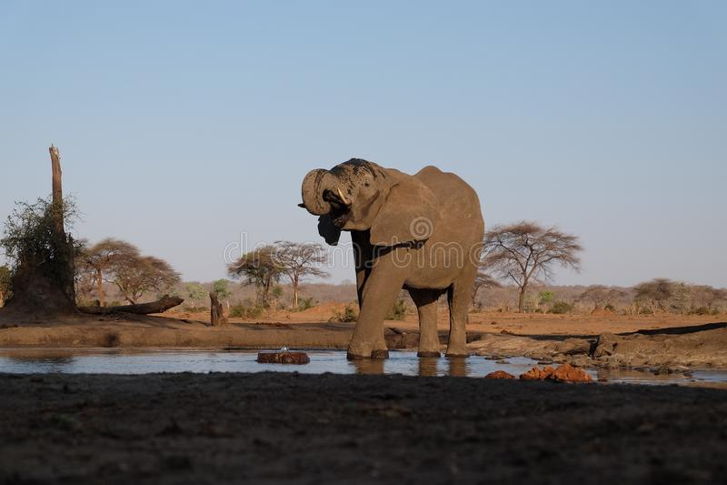 Elefant på waterhole på den Senyati safari royaltyfria bilder