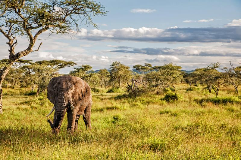 Elefant in Serengeti in Tansania stockbild