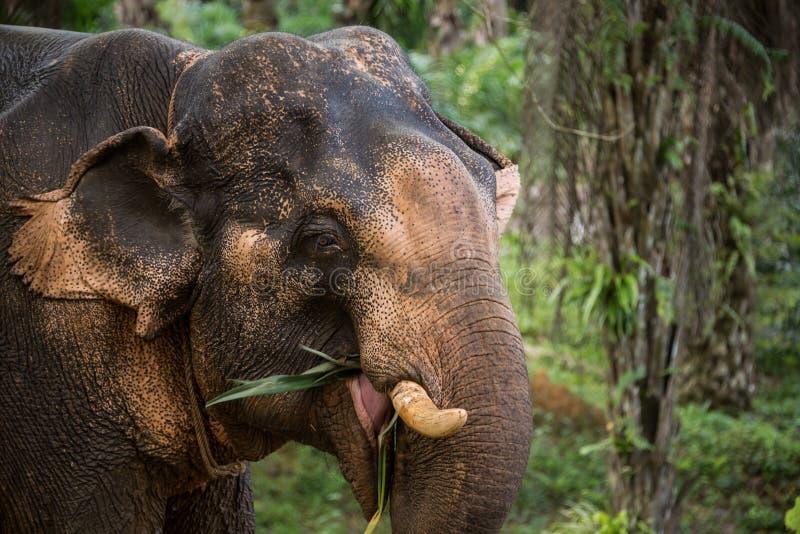 Elefant som äter i djungeln. Thailand South East Asia.  royaltyfri fotografi