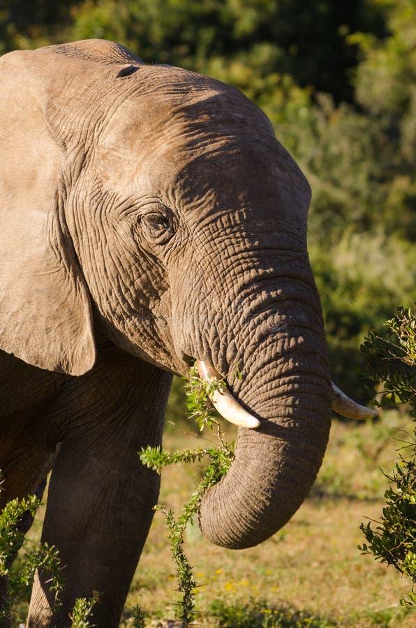 Elefant som äter sidor, elefantbetesnabel Addo elefanter parkerar, den Sydafrika djurlivphotoghraphyen arkivfoton