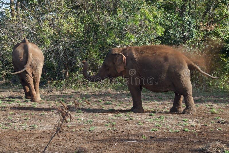 Elefant som applicerar röd jord på från skydd från solen och kryp royaltyfri foto