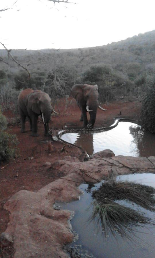 Elefant som dricker på vattenhålet royaltyfri bild