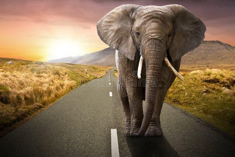 Elefant som går på vägen royaltyfri fotografi