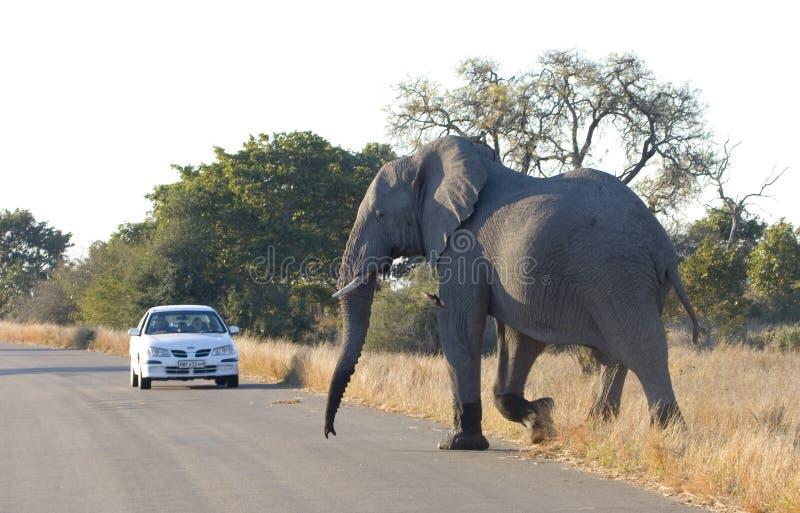 Elefant som korsar vägen i den Kruger nationalparken royaltyfri foto