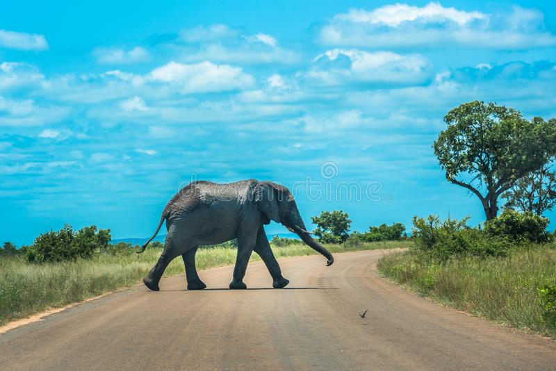 Elefant som korsar vägen, Kruger nationalpark, Sydafrika arkivfoto