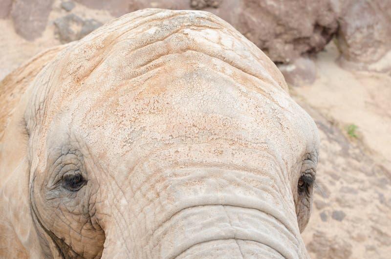 Elefant som ser kameran arkivbild