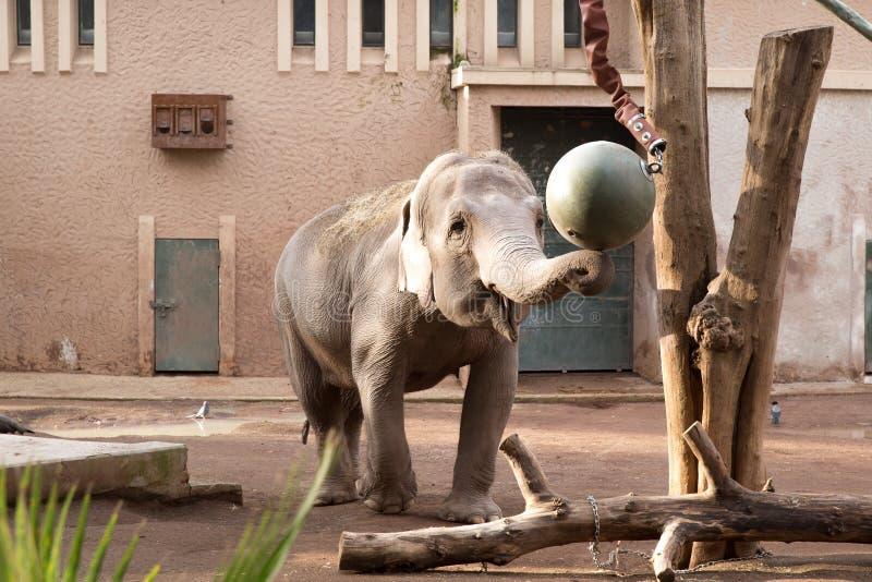 Elefant som spelar i en zoo royaltyfri fotografi