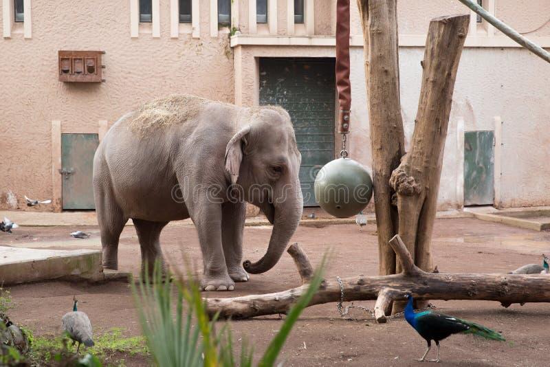 Elefant som spelar i en zoo arkivfoton
