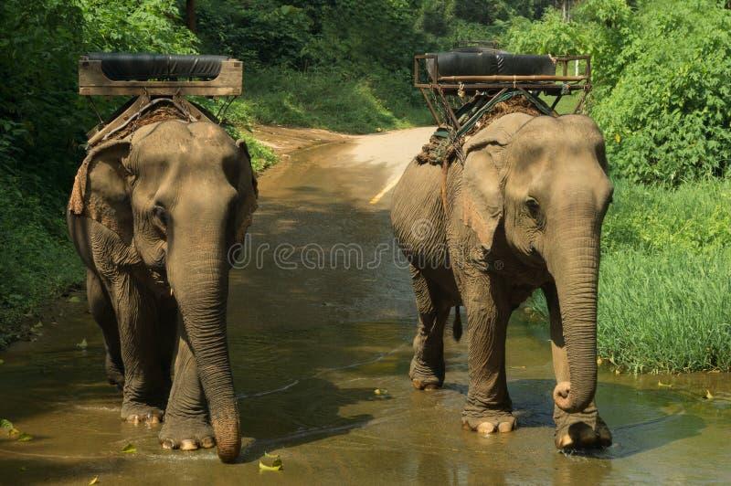 Elefant som trecking i nordliga Thailand arkivbilder