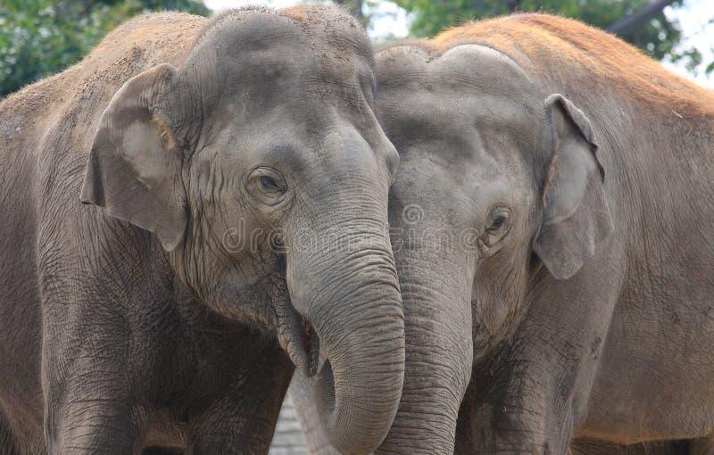 Elefant-Umarmung lizenzfreies stockfoto