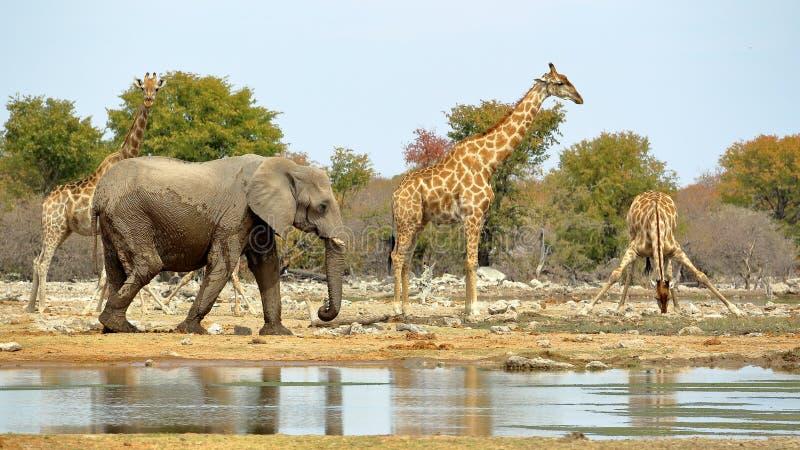 Elefant- und Giraffenbewässerung stockfotografie