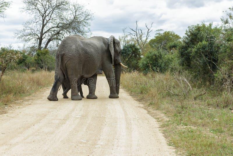 Elefant und Kalb, die einen schmalen Schotterweg kreuzen stockfotos