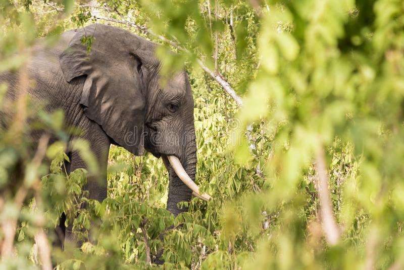 Elefant unter den Büschen stockfoto