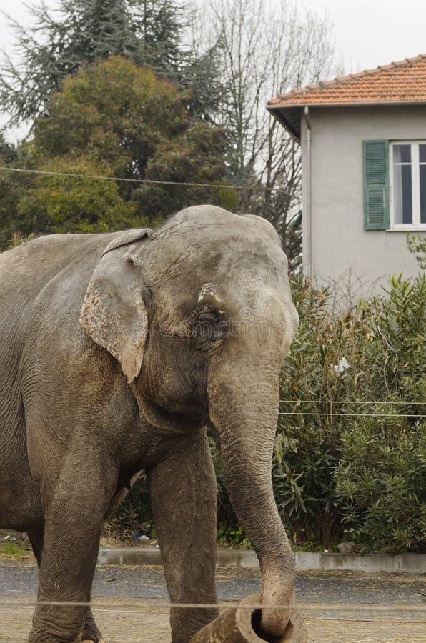 Elefant utanför cirkus royaltyfria foton