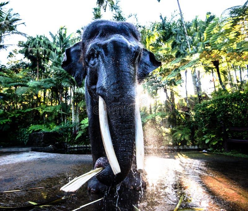 Elefant von der Front lizenzfreies stockbild